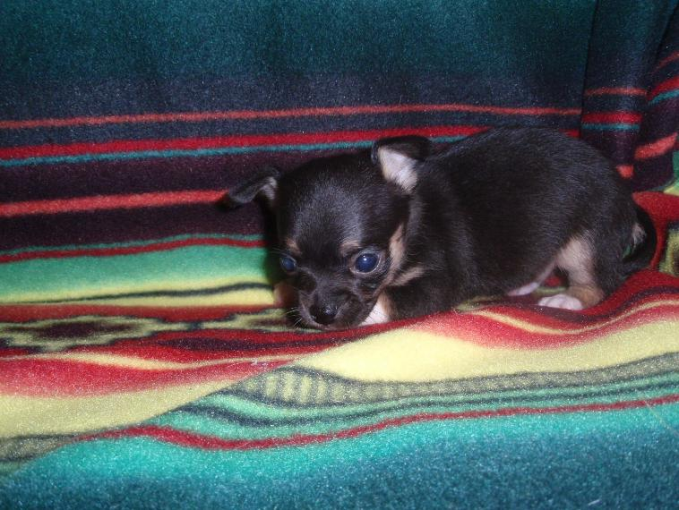 Star and Trevette's Puppy   CKC   $650.00