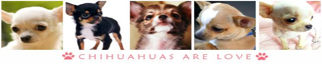 Chihuahua Puppies, Bella's Little Angels